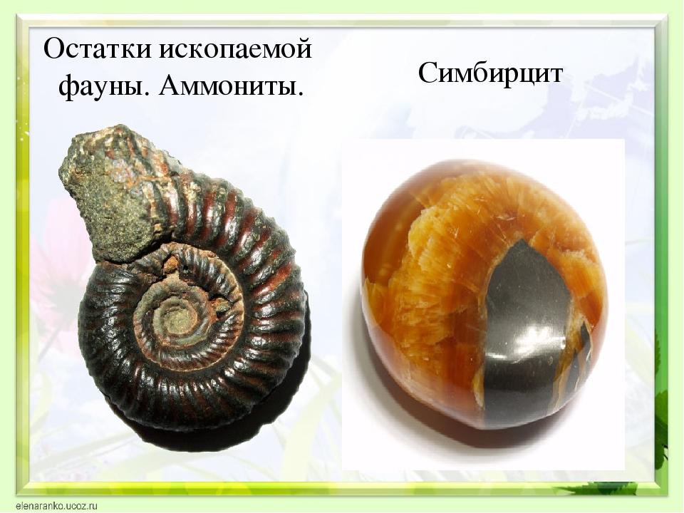 Остатки ископаемой фауны. Аммониты. Симбирцит