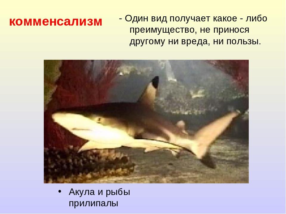 комменсализм Акула и рыбы прилипалы - Один вид получает какое - либо преимуще...