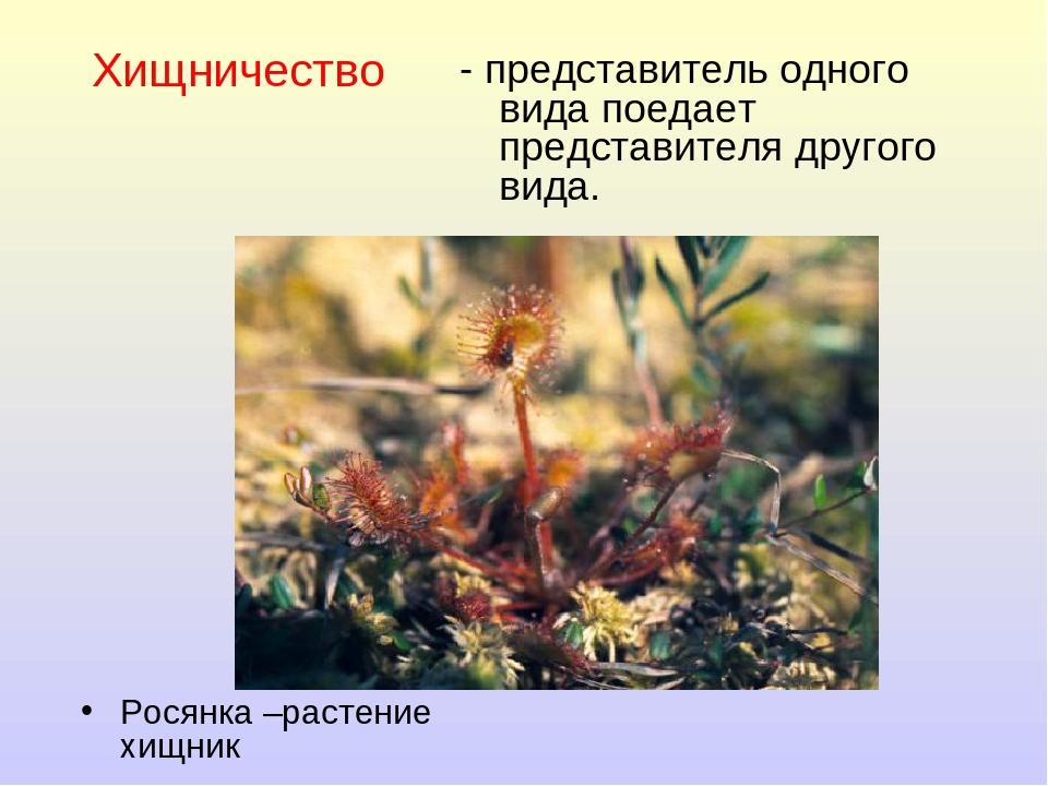 Хищничество Росянка –растение хищник - представитель одного вида поедает пред...