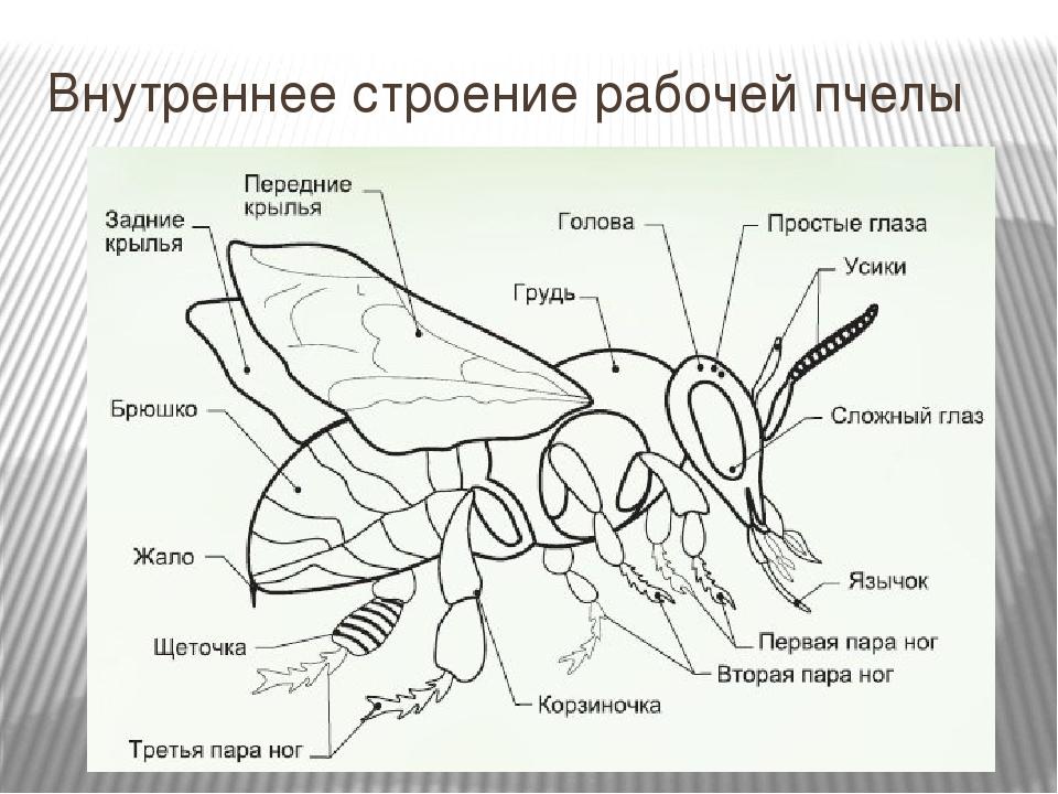 Части тела пчелы в картинках