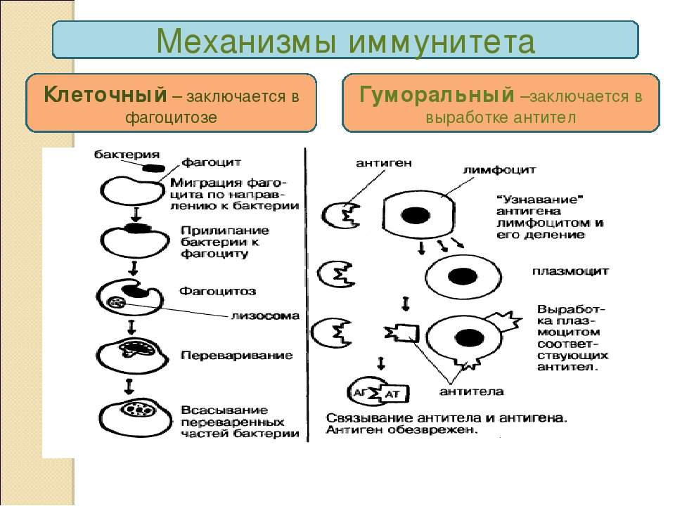 Механизмы врожденного иммунитета