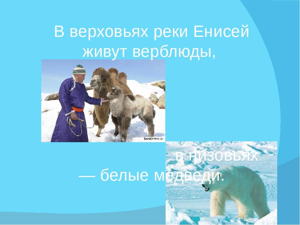 В верховьях реки Енисей живут верблюды, в низовьях — белые медведи.