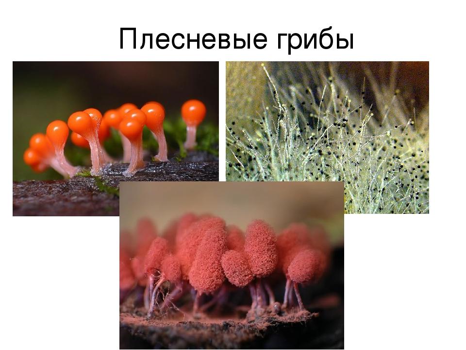 плесневые грибы картинки для презентации всех поставщиков шубы