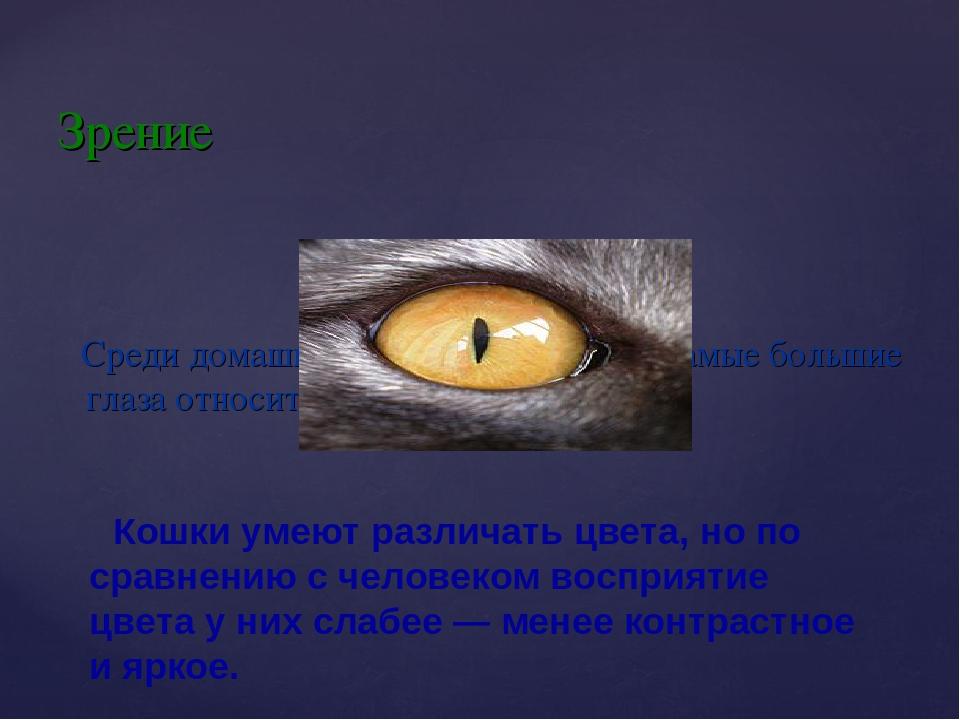Среди домашних животных у кошки самые большие глаза относительно размеров те...