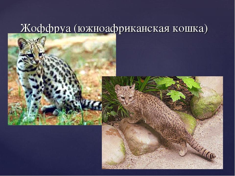 Жоффруа (южноафриканская кошка)