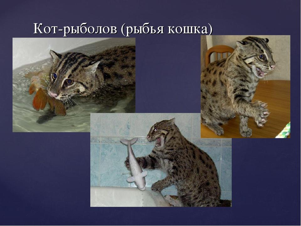 Кот-рыболов (рыбья кошка)