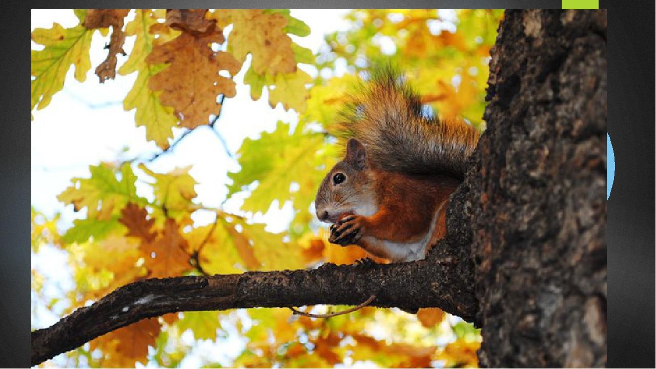 стандартных фото белки на дереве осень редкая