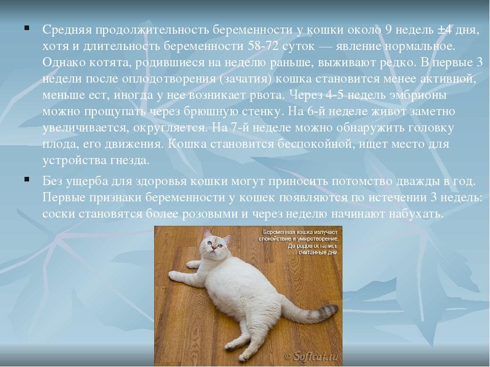 Кошка длительность беременности