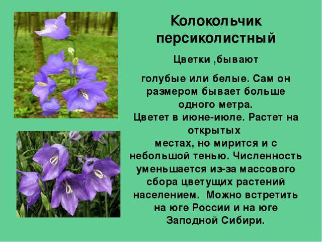 Картинка и описание цветка колокольчик