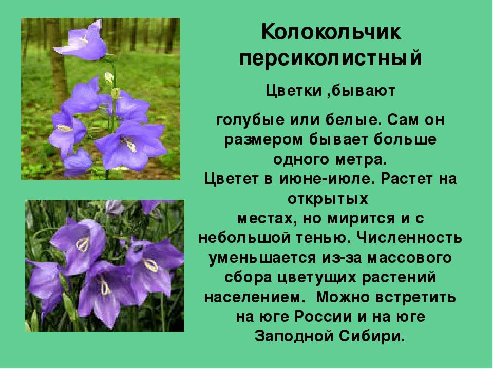 Колокольчик фото цветы описание