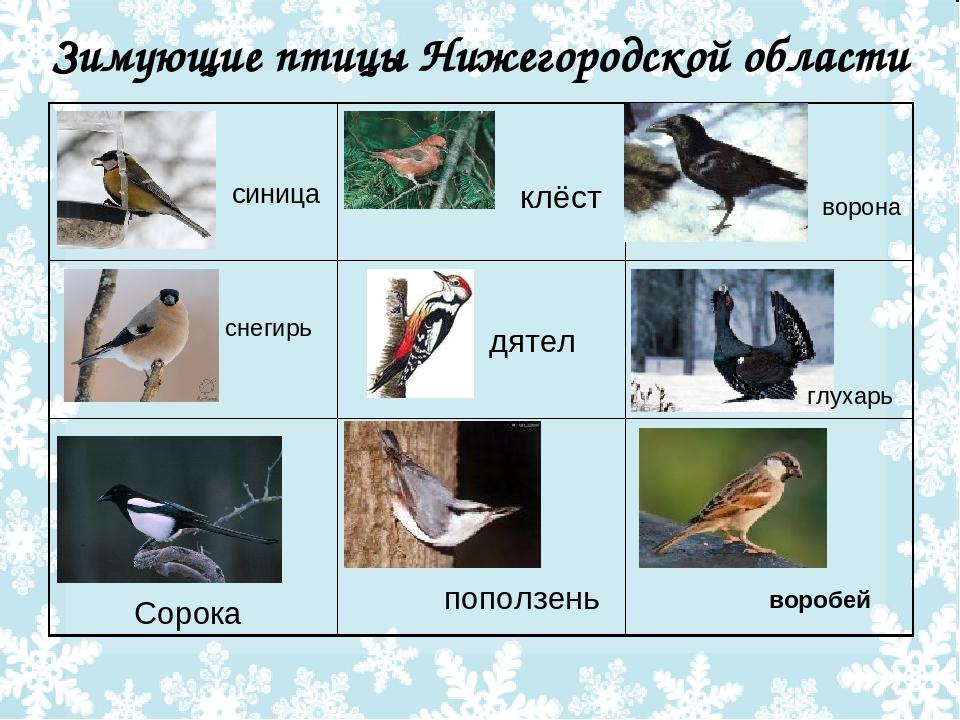плечевого зимующие птицы курской области названия и фото посоветуем, что купить