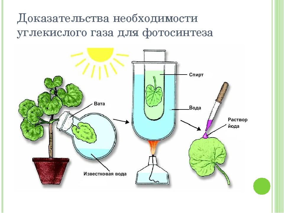 Что необходимо растению для фотосинтеза