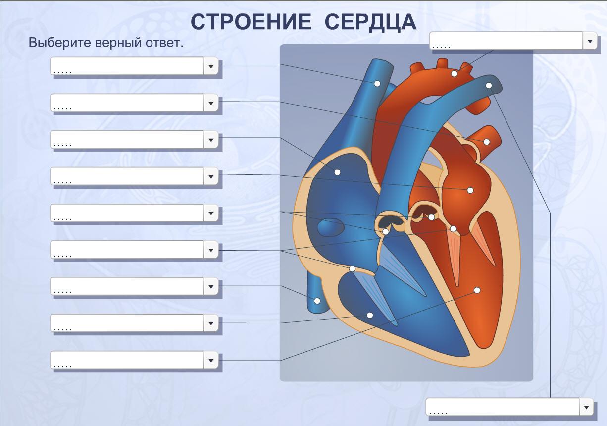Строение сердца человека рисунки и схемы