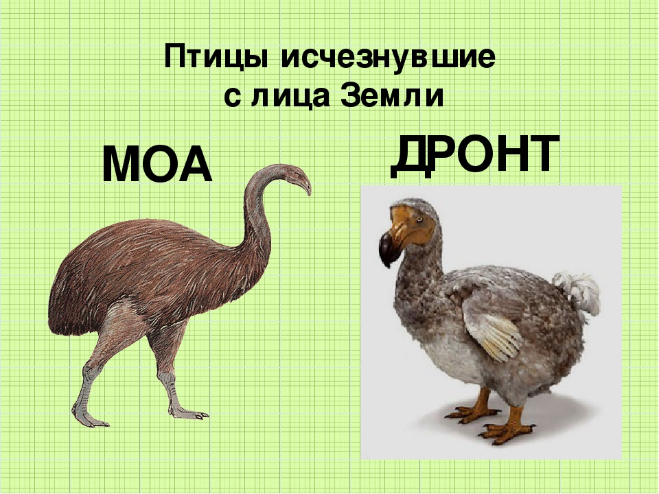 Птицы исчезнувшие с лица Земли МОА ДРОНТ
