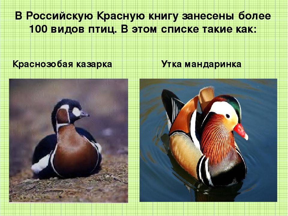 В Российскую Красную книгу занесены более 100 видов птиц. В этом списке таки...