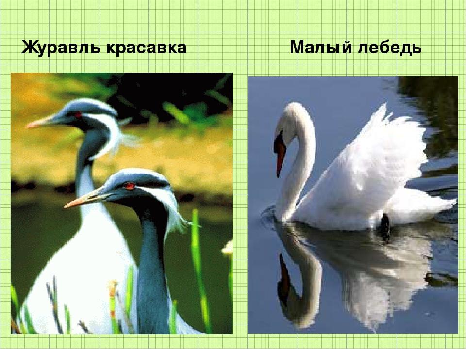 Журавль красавка Малый лебедь