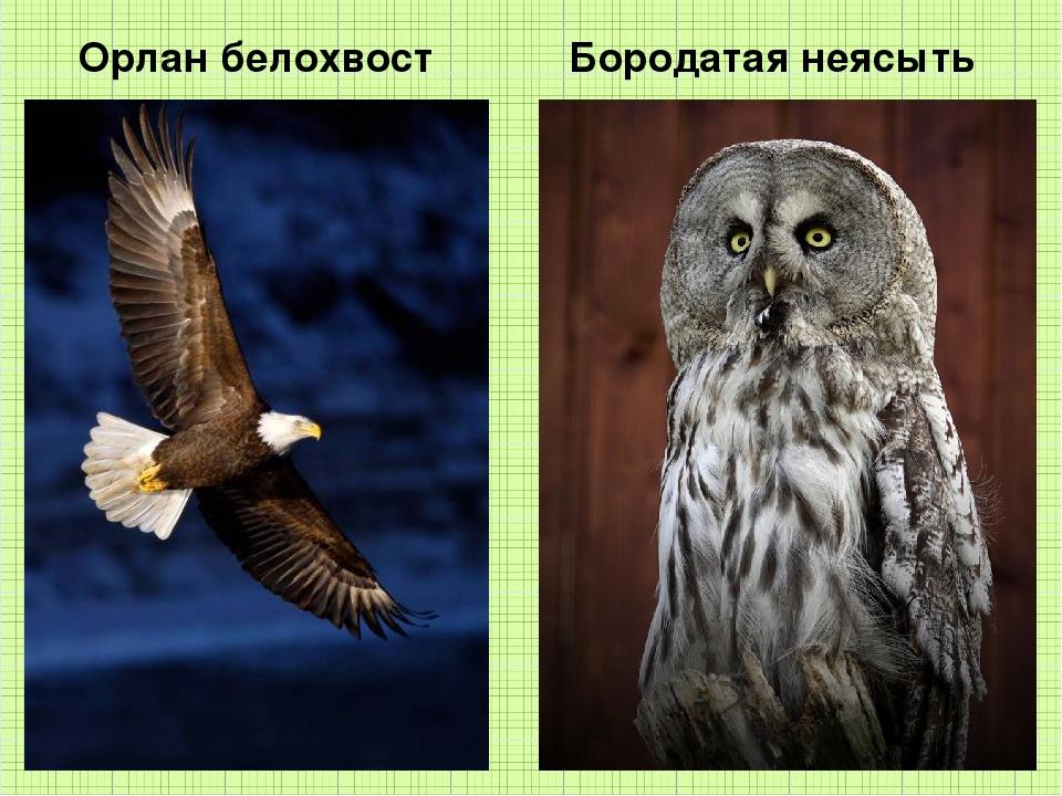 Орлан белохвост Бородатая неясыть