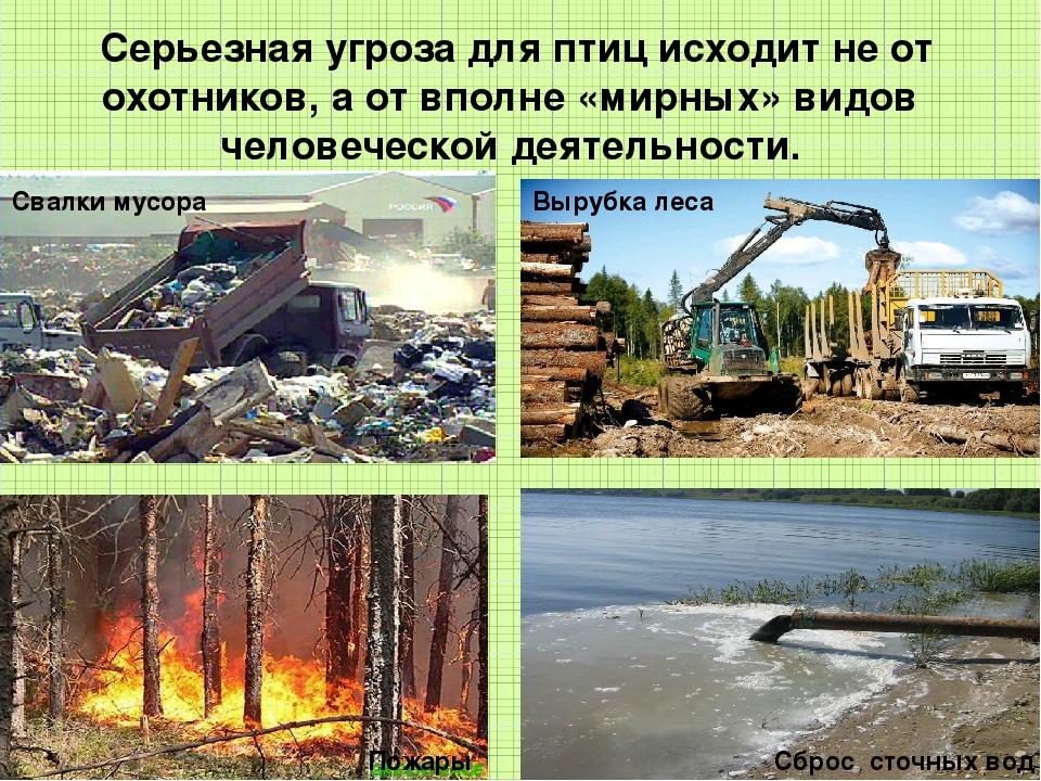 Серьезная угроза для птиц исходит не от охотников, а от вполне «мирных» видо...
