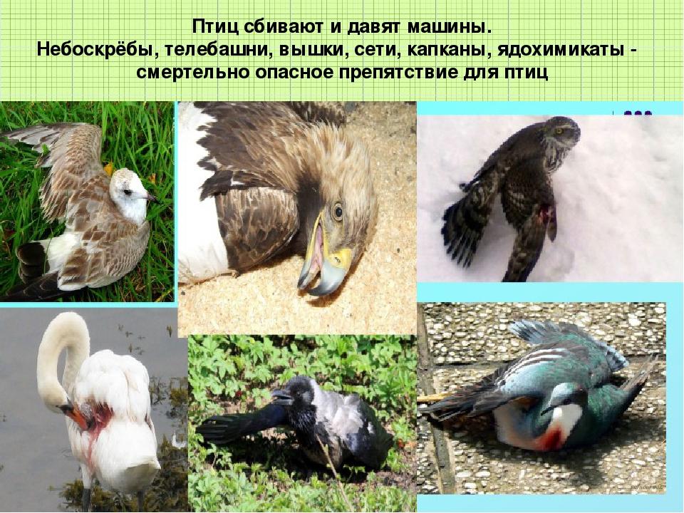 Птиц сбивают и давят машины. Небоскрёбы, телебашни, вышки, сети, капканы, ядо...