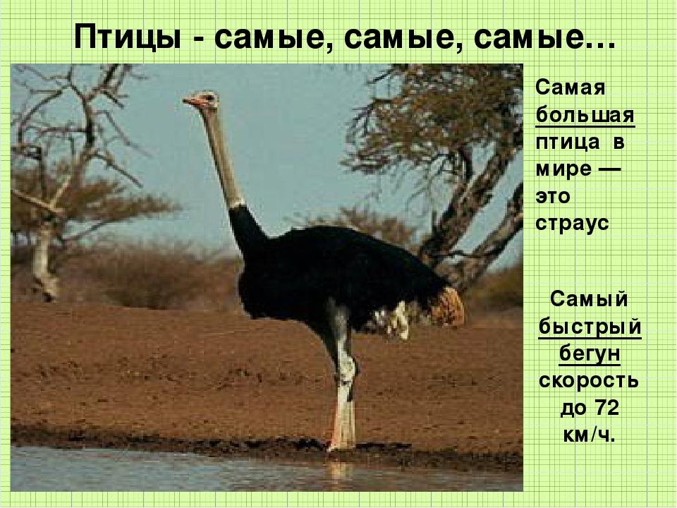Птицы - самые, самые, самые… Самая большая птица в мире — это страус Самый б...