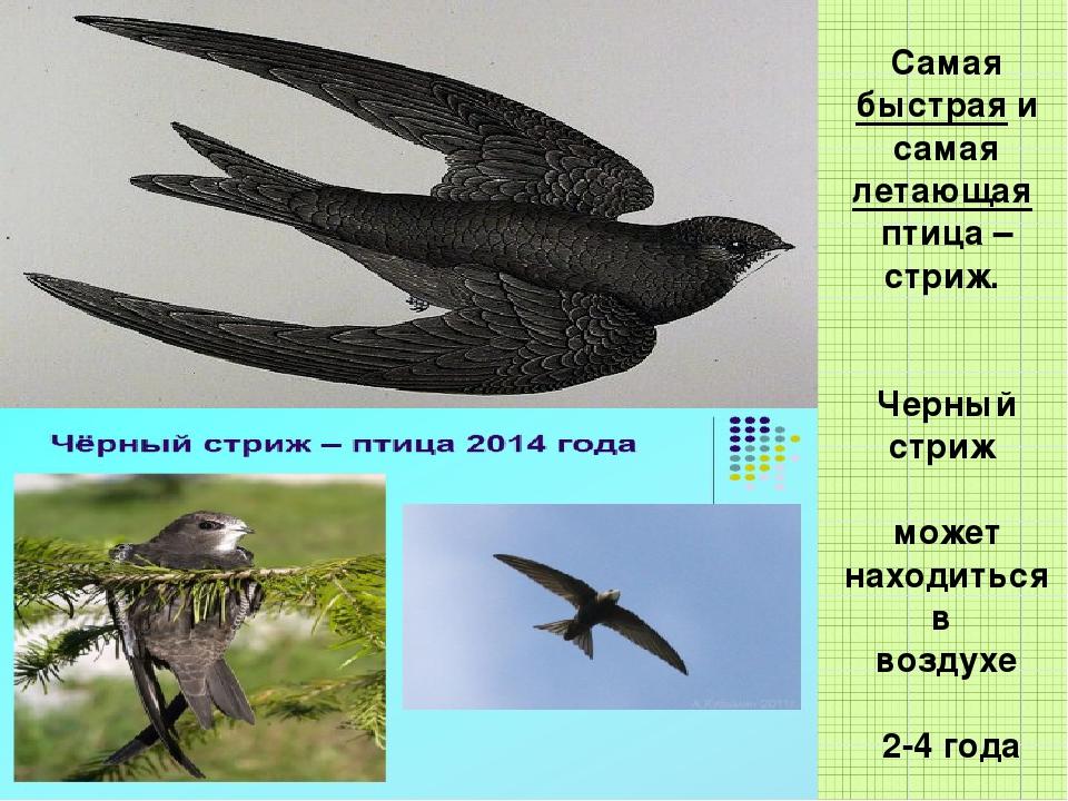 Самая быстрая и самая летающая птица – стриж. Черный стриж может находиться в...