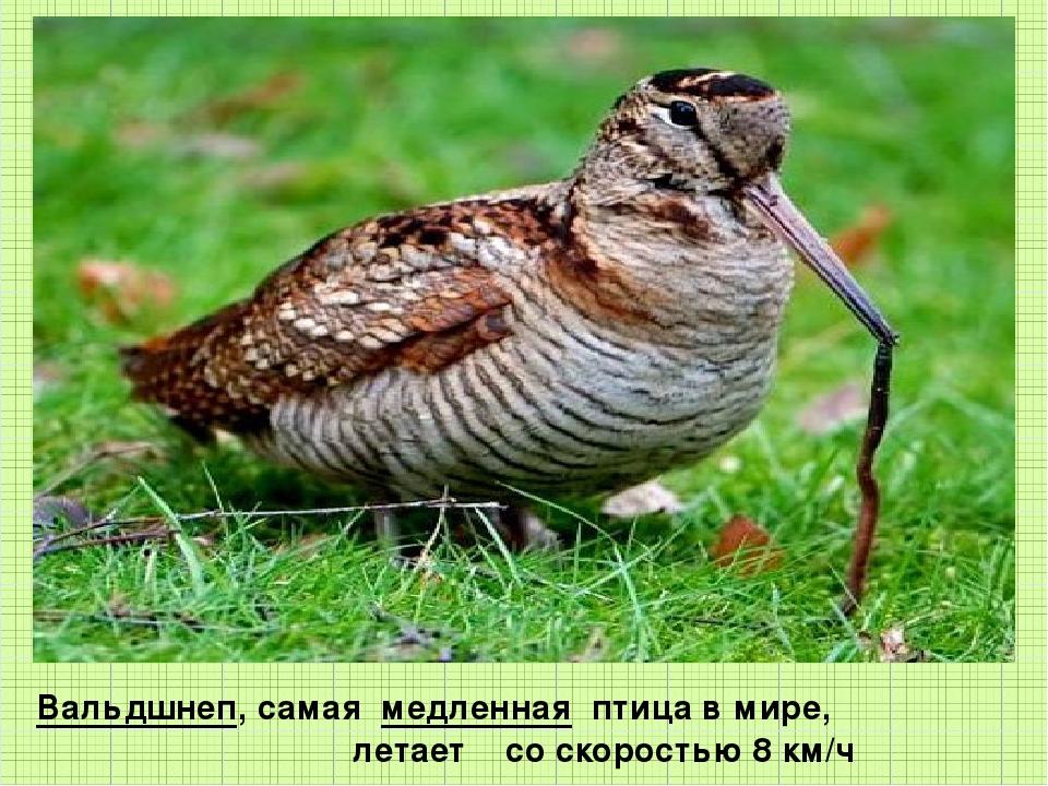 Вальдшнеп, самая медленная птица в мире, летает со скоростью 8 км/ч