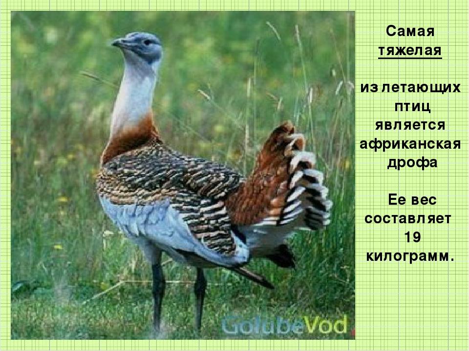 Самая тяжелая из летающих птиц является африканская дрофа Ее вес составляет 1...