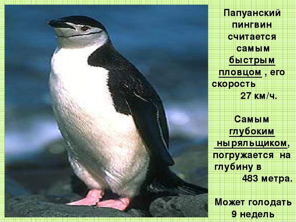 Папуанский пингвин считается самым быстрым пловцом , его скорость 27 км/ч. Са...