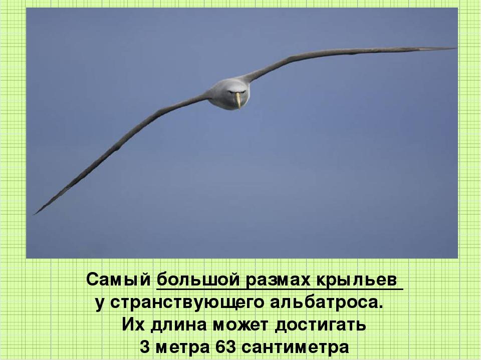 Самый большой размах крыльев у странствующего альбатроса. Их длина может дос...