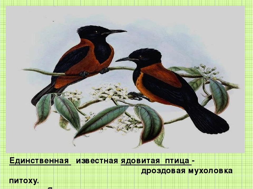 Единственная известная ядовитая птица - дроздовая мухоловка питоху. Яд содерж...