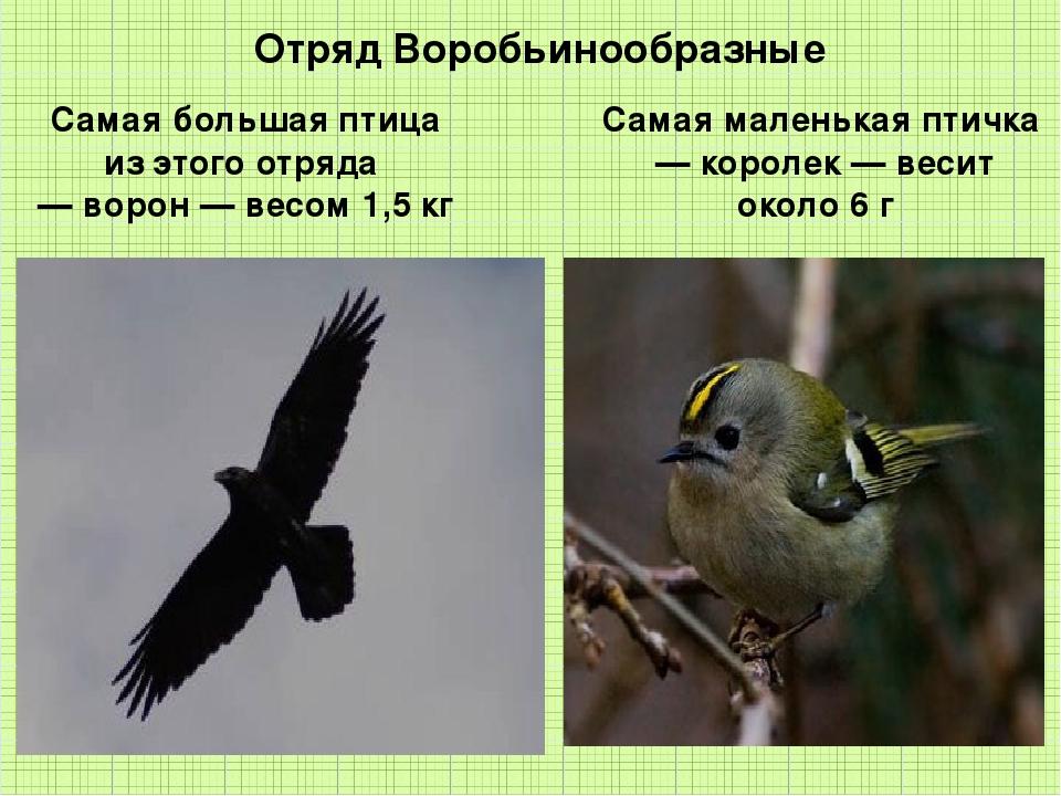 Отряд Воробьинообразные Самая большая птица из этого отряда — ворон — весом...