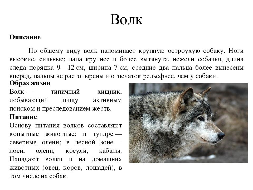 так, это реферат про волков с картинками как человек