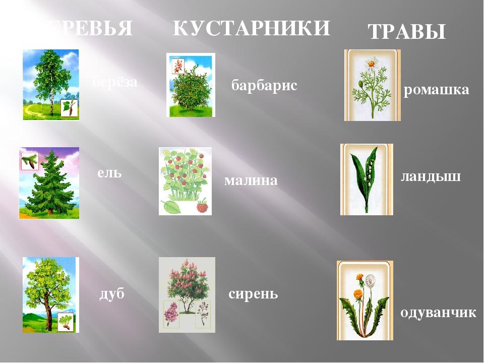 Различие деревьев кустарников травянистых растений