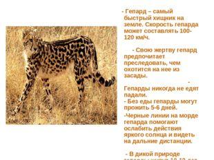 - Гепард – самый быстрый хищник на земле. Скорость гепарда может составлять