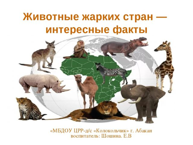 Животные жарких стран — интересные факты «МБДОУ ЦРР-д/с «Колокольчик» г. Аба...