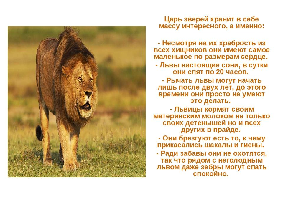 Царь зверей хранит в себе массу интересного, а именно: - Несмотря на их храбр...
