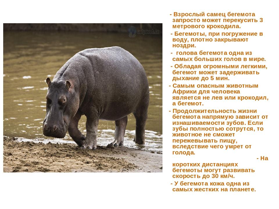 - Взрослый самец бегемота запросто может перекусить 3 метрового крокодила. -...