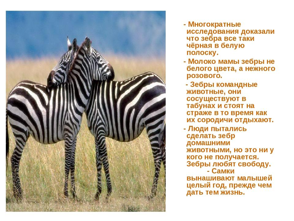 - Многократные исследования доказали что зебра все таки чёрная в белую полос...