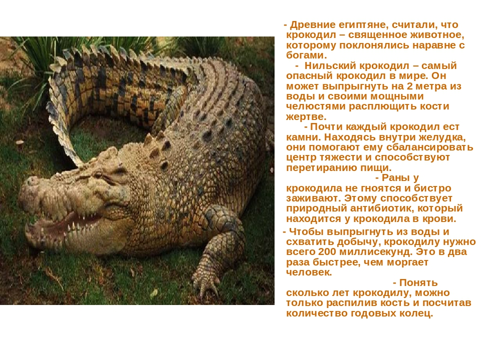 - Древние египтяне, считали, что крокодил – священное животное, которому пок...