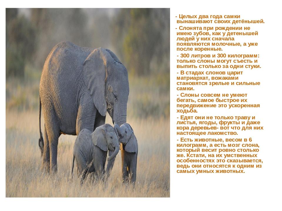 - Целых два года самки вынашивают своих детёнышей. - Слонята при рождении не...