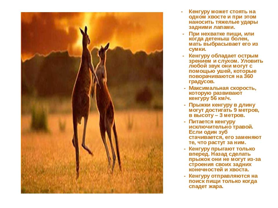 - Кенгуру может стоять на одном хвосте и при этом наносить тяжелые удары зад...