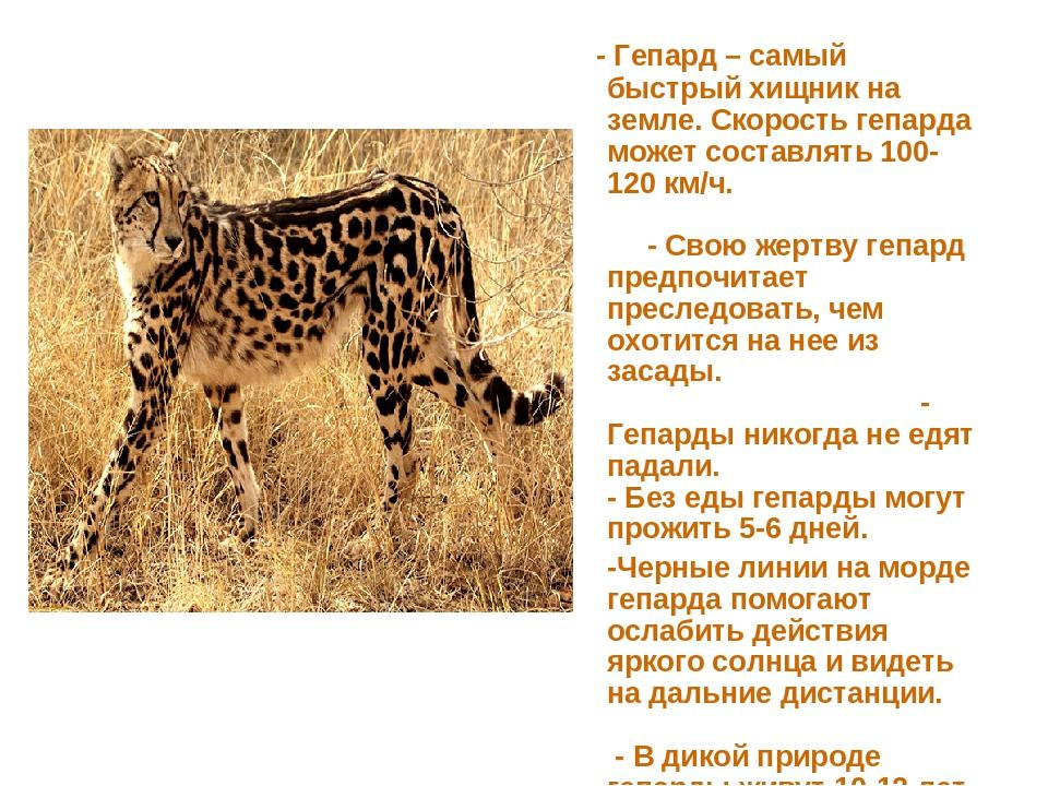 - Гепард – самый быстрый хищник на земле. Скорость гепарда может составлять...