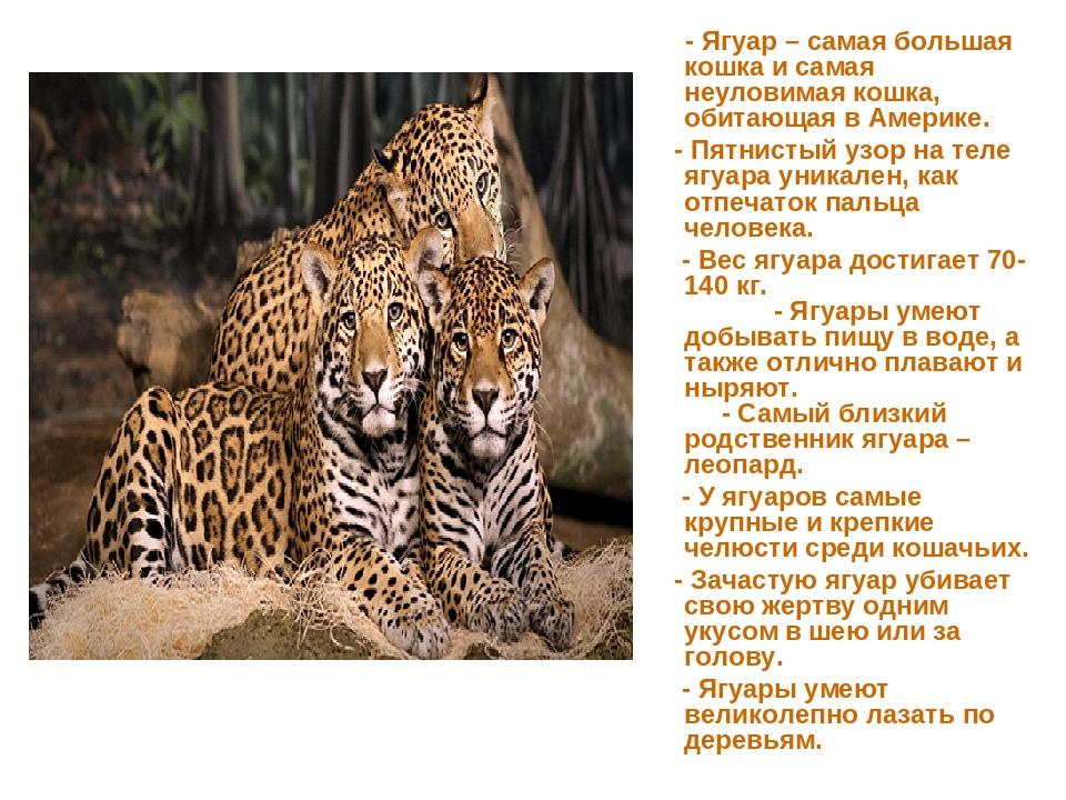 - Ягуар – самая большая кошка и самая неуловимая кошка, обитающая в Америке....