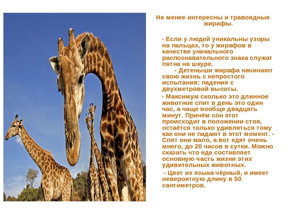 Не менее интересны и травоядные жирафы. - Если у людей уникальны узоры на пал...
