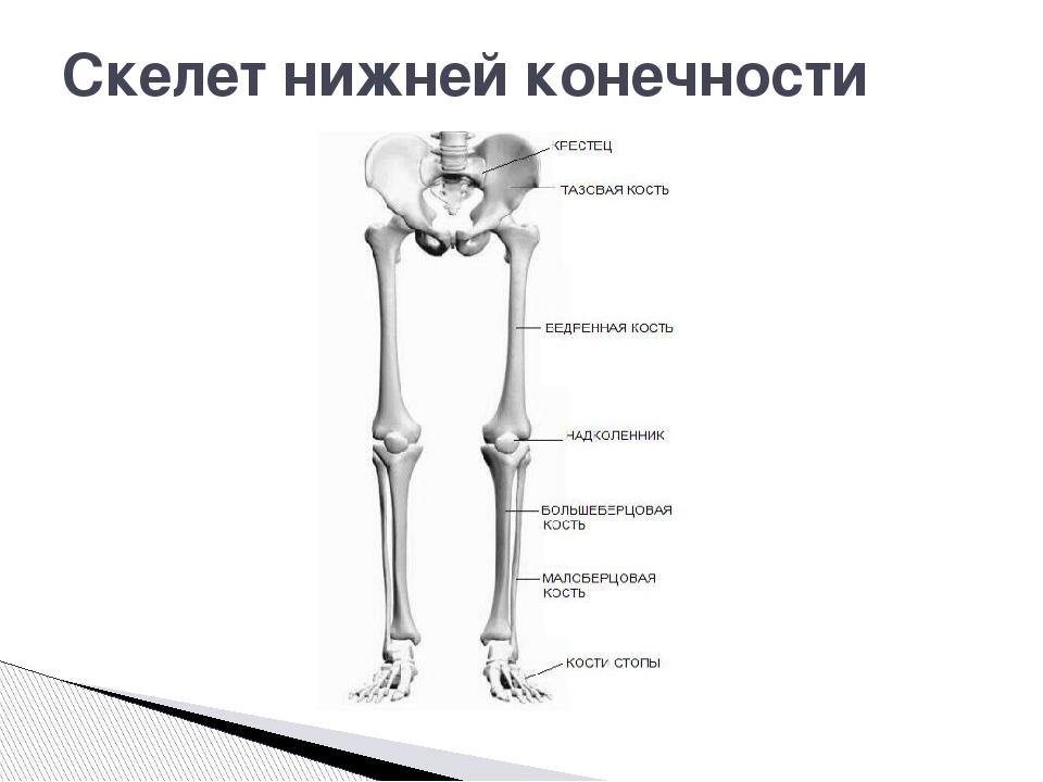 скелет конечностей человека картинки