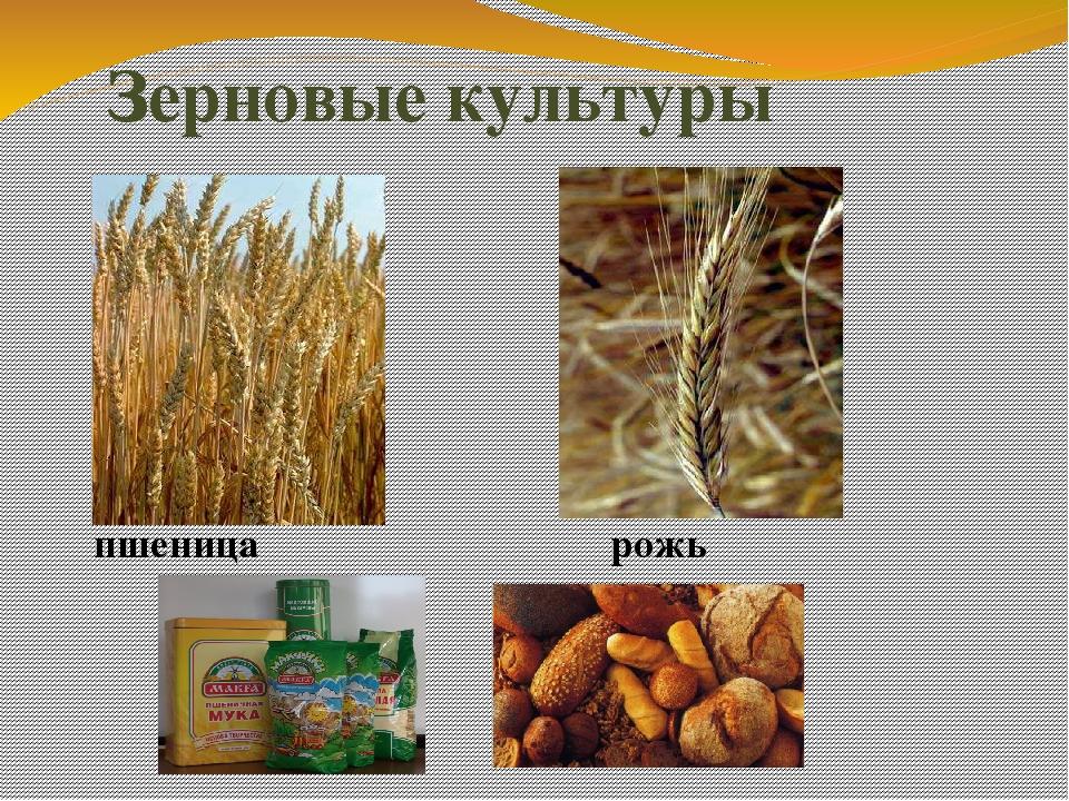 зерновые культуры картинки с названием приложения можно