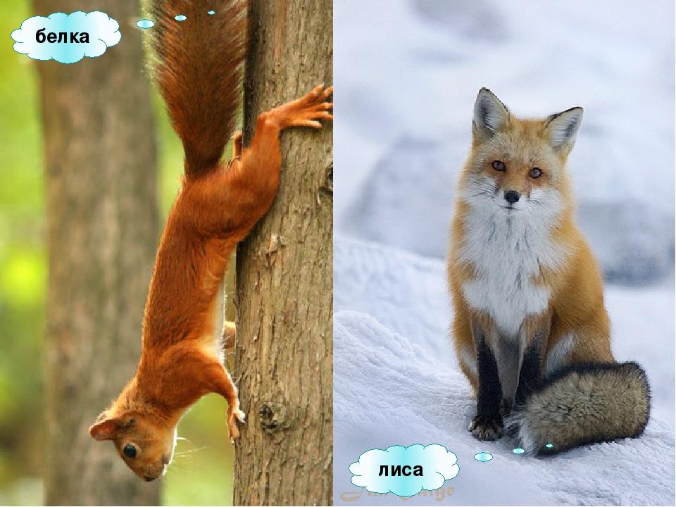 Белочка и лисичка картинка