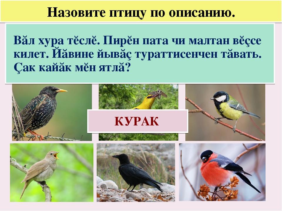 Назовите птицу по описанию. Вăл хура тĕслĕ. Пирĕн пата чи малтан вĕçсе килет....