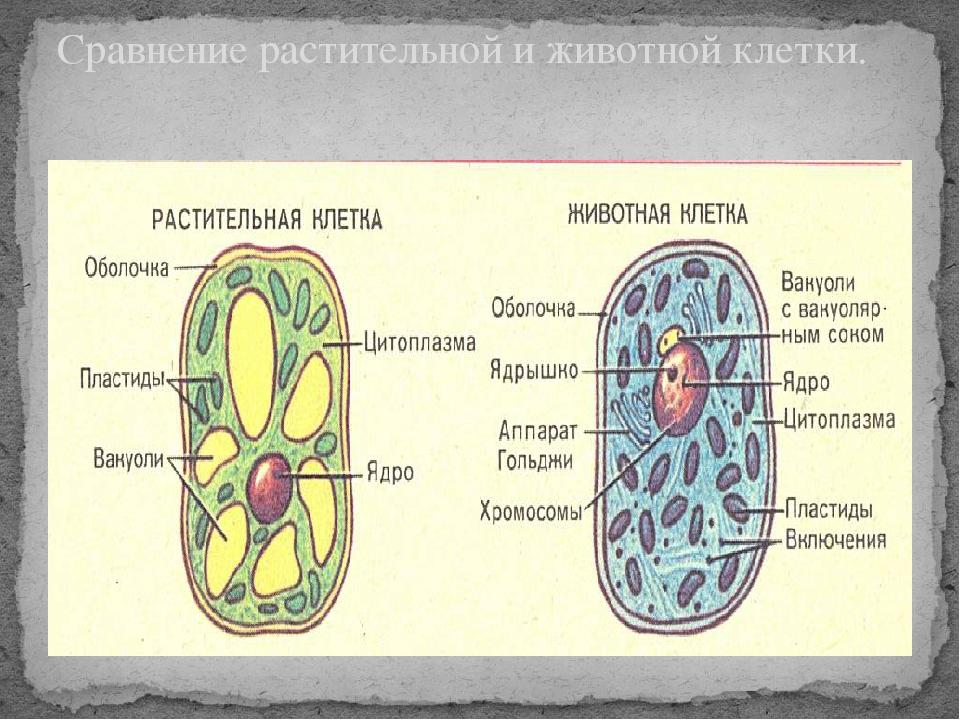 Сравнение растительной и животной клетки.