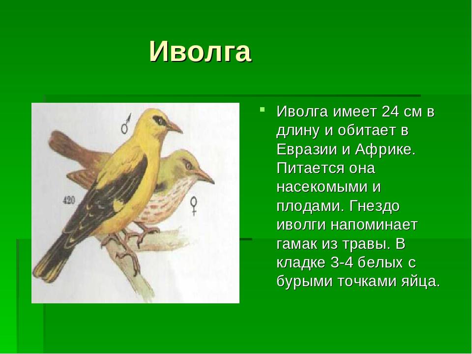 всегда иволга фото птицы и описание того, что